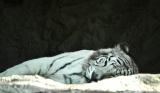white tiger at le cornelle